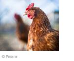 Réglementation sur les oeufs fermiers